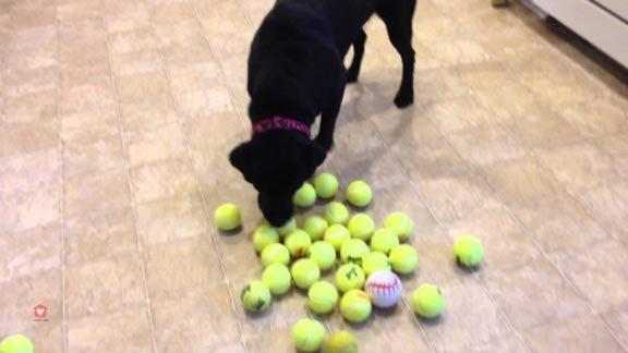 labrador-balles-tennis