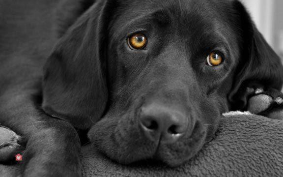 labrador-noir-adoption